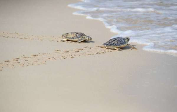 65 Hawksbill Turtles Released into the Wild by Jumeirah Group in Celebration of World Sea Turtle Day